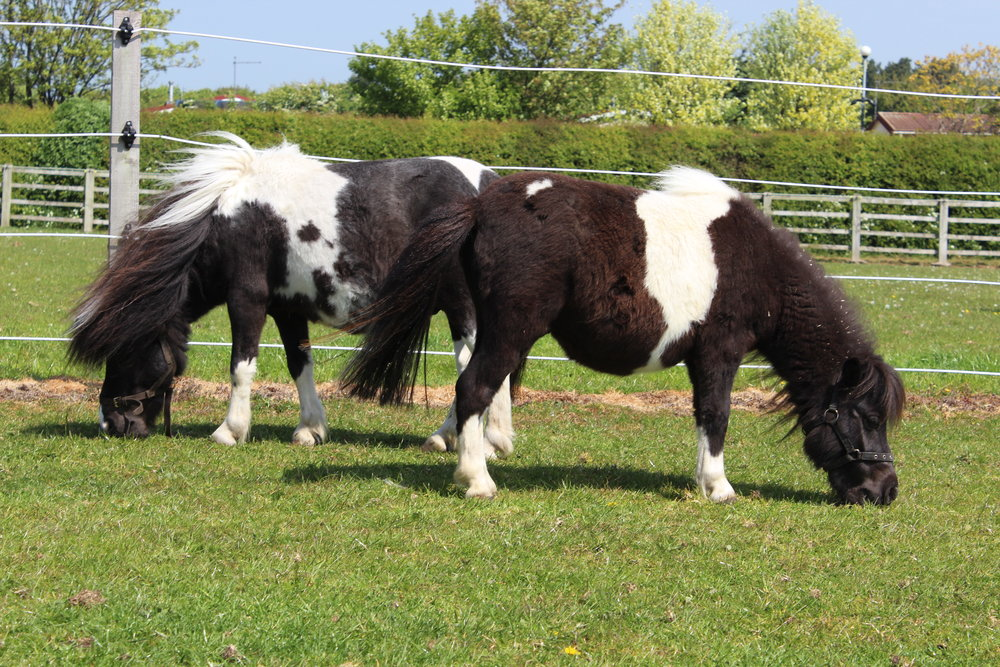 Cookie and Oreo enjoying life with World Horse Welfare (Pic: World Horse Welfare)