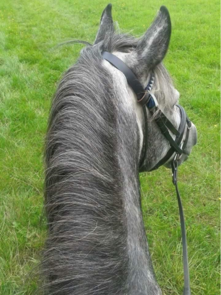 Sarah Granger  This is my NF gelding Cobain, we have done 158.3 miles since the 1st December   