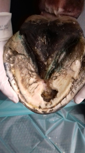 What happens when a horse's foot abscess becomes serious Your Horse