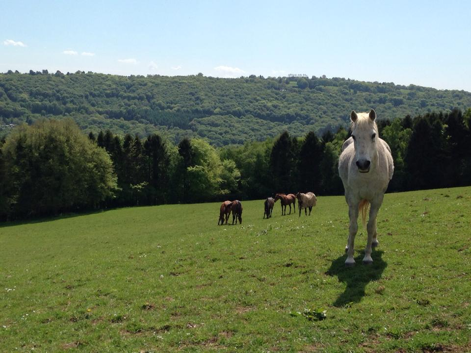 Hesteyri horses relaxing at home