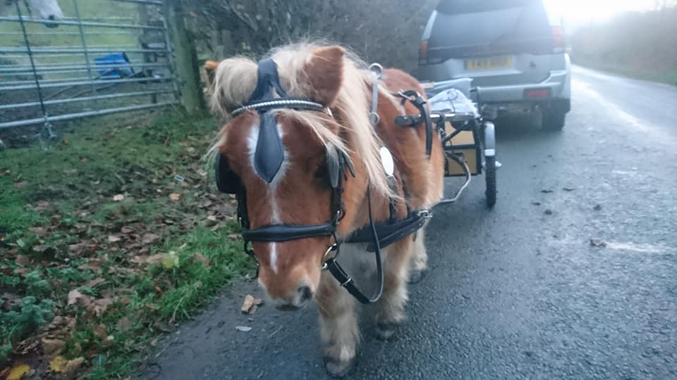 """Kirsty Powell – """"New shoes on the mini man so now he has no excuse – he has shoes, we have his new cart and harness, we are ready to go!"""""""