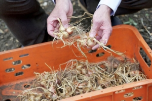 2. Brush off extra soil and separate the clusters of bulbs so they dry better.