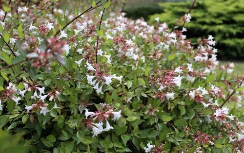 Abelia Garden News
