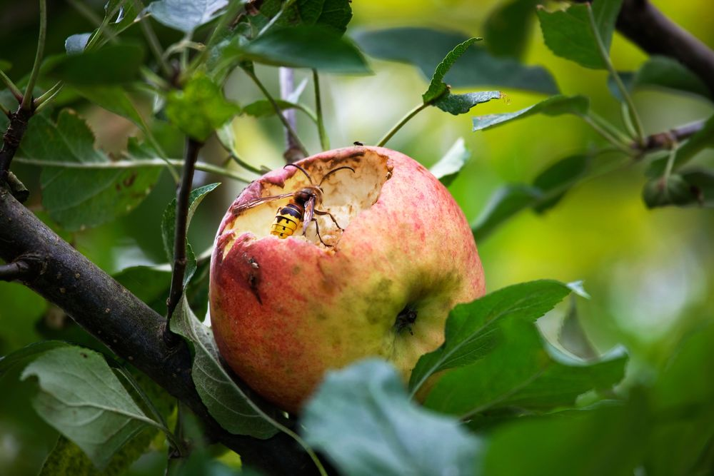 Wasps! A classic autumn fruit pest, you can try enveloping fruit trusses in muslin bags, nylon tights or other mesh. They will attack grapes, pears, plums and apples.