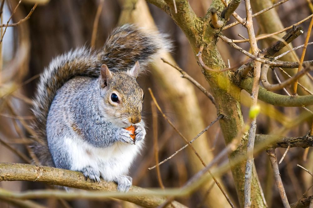 Squirrels! Most ornamentals and edibles, bird feeders and seeds are all at risk! Use mesh or a cage to keep them at bay. They will attack strawberries, apples, pears and nuts.