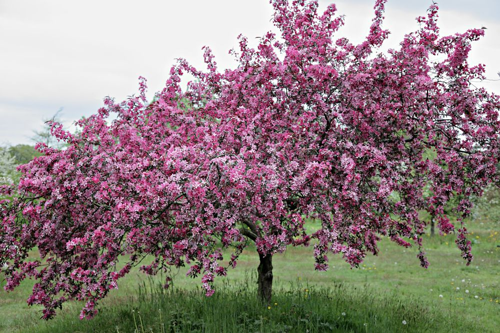 Of all the spring-flowering trees, crab apple is perhaps the most underappreciated, yet compared to ornamental cherries, which grab the spotlight with their blizzards of blossom, crab apples are more elegant, with a greater range of form and size. Through careful selection and hybridisation, many are ideal as specimen trees for smaller plots or larger patio tubs, such as dwarf varieties 'Tina' or 'Adirondack'. Crab apple is a generic term for a range of species and hybrids in the apple genus Malus, largely based on fruit size and the fact they're used for ornament, rather than edible fruit. Fruits that are generally 5cm (2in) in diameter or less are classed as crabs. Most are sour, although some like 'Harry Baker' have larger fruit which can be used in cookery or, in the case of 'John Downie', can be eaten raw. However, it's in spring when crab apples give their all, with branches wreathed in blossom. Crab apples put up with most soils as long as it's not too consistently wet or dry, although they'll tolerate periods of drought once established. Many varieties are also resistant to apple diseases, but you may still need to treat persistent infections. Most don't need pruning, unless being thinned out or cut back to improve shape. This is best done when flowers have finished in spring. Remove shoots that appear from below ground or the graft point to stop them taking over.