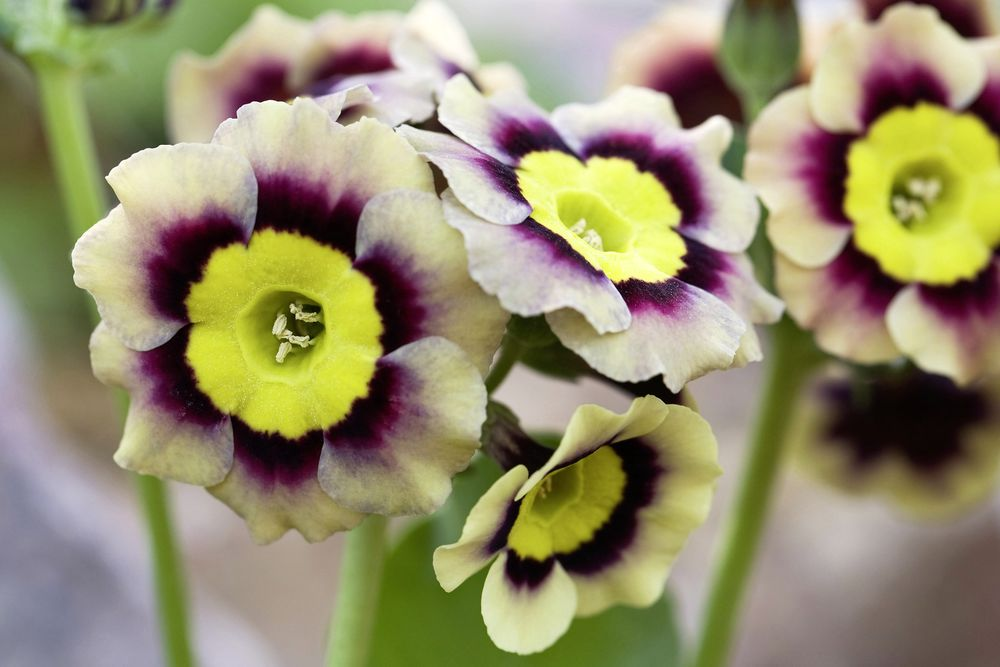 Auriculas are among the most treasured of our spring flowers. These tufted, evergreen primulas originally come from the mountains of Europe, where they grow among limestone rocks. The wild species have small, rounded or scalloped leaves, sometimes covered in a creamy meal and heads of circular, five-petalled flowers, often with a white eye.  Hundreds of hybrids have been created by crossing it with closely-related species P. hirsuta. The auricula as we know it was brought into cultivation at the end of the 18th century, grown by ordinary folk as botanical treasures. Auricula shows became popular and formal societies were formed.  Auriculas are generally split into border, alpine, show, double and striped varieties. The border and alpine forms are robust enough for use in the general garden, where they'll grow in moist, but well-drained soil in semi-shade. They hate hot sun and dry soil and will scorch or even die, if becoming seriously droughted. The show varieties are best grown in pots in a cold greenhouse to protect the meal or farina on their leaves and especially the flowers, which is soon washed off by the rain.  When growing them in pots, clay or plastic, use a multi-purpose compost with added John Innes and add more grit or Perlite to further improve drainage. They need to be kept damp, but not wet over winter, gradually increasing the amount of water as they flush with new growth and the flower buds appear. Under glass they're prone to greenfly and also attacks by vine weevil grubs. For more information contact the National Auricula and Primula Society; tel 01530 810522, www.auriculaandprimula.org.uk