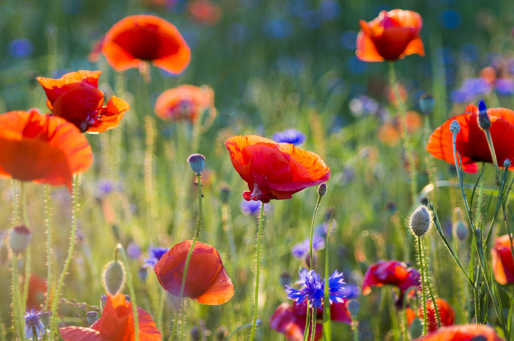 Poppies garden news the field poppy is forever associated with the feilds of flanders where it sprang into life in the disturbed soil creating vistas of blood red flowers mightylinksfo
