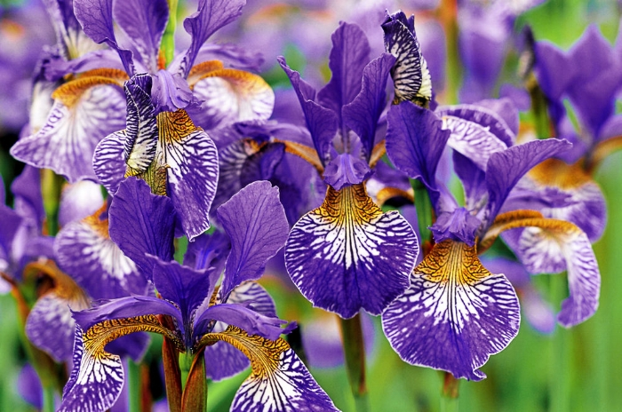 The Siberian iris, Iris Sibirica, has to be one of the most accommodating perennials we can grow. From late May, through June, and sometimes beyond in some varieties, typical fleur-de-lis flowers sit on slender stalks, dancing above a sheaf of narrow foliage 90cm-1.2m (3-4 ft) tall.  Flowers of the wild species are mid-blue, but the base of the petals are jazzily marked and blotched in golden tones marked with dark blue or dark lines. They make good cut flowers, especially when paired with early roses. Sited in damp meadows or waterside, it really luxuriates and reaches its full potential. It'll also tolerate wet soil, as long as its rootstock isn't permanently submerged in water, and will also naturalise in damp grassland. Iris Sibirica can be grown in ordinary border soil, as long as it's not too acid or chalky, where it does best in semi-shade rather than full sun. A range of new varieties have appeared in recent years, with colour breaks in pink and yellow, with bi-coloured and picoteed lower petals. Easy to grow, once established it forms a slowly-expanding clump of slender rhizomes. All you need to do is cut down the dead foliage in late winter. Old clumps can be resized or rejuvanated by lifting and dividing the clump every three to four years, but will take time to settle down again and flower to their full potential.