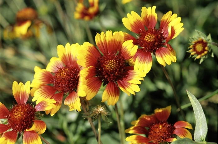 Blanket flower or gaillardia is gradually gaining popularity in Britain, having been somewhat upstaged by fellow summer-flowering perennial, helenium.   Like helenium, gaillardia is in the daisy family Asteraceae, producing bright, cheery flowers in shades of yellow, red and orange, often in bold, contrasting bands of colour, and individually larger than that of helenium, with a bold central disc.   Others in the 20 or so gaillardia species are less commonly grown, but have flowers in shades of purple, brown and white and are found throughout North America and through into South America. Most are perennial, while some are annual or short-lived perennials, with double-flowered G. pulchella 'Sundance' in yellow and red shades most commonly encountered.   Most varieties are from G. grandiflora, a hybrid between G. pulchella and perennial G. aristata. Recent breeding has created varieties more reliably perennial and improved the onset of flowering to June, continuing through to late summer, especially if regularly deadheaded. Most attain 30-60cm (1-2ft) in stature, the perennial types being clothed in grey-green leaves. The flowers attract bees and butterflies and are also good for cutting.   They like well-drained soil in full sun, becoming floppy in overly-rich, continually damp soils. Such conditions are likely to cause rotting in winter. They also don't perform well in heavy, clay soils.
