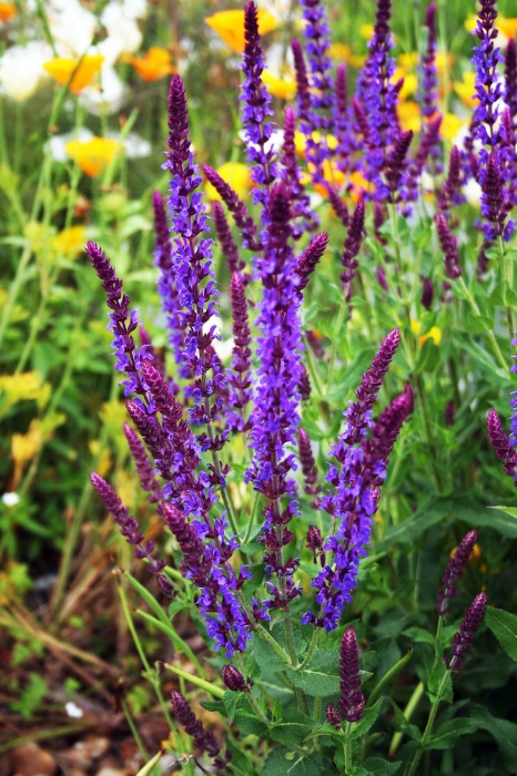 The Balkan clary or woodland sage, Salvia nemorosa is a plant that has really realised its full potential in recent years. A slew of longer-flowering hybrids of compact habit and elegant form have become the signature plant of garden designers, catapulting them to public attention.  Being in the sage family, Lamiceae, the clump of grey to sea-green foliage is strongly aromatic. In summer, spires of blue, blue-purple or white flowers appear from darker calyces (sepals). The flowers are attractive to bees and butterflies, so ideal if you want to attract pollinating insects.  The Balkan clary grows throughout central Europe into Western Asia, growing in well-drained soil in open, sparse grassland and other open spaces. Variable in the wild and easily crossed with other related species, it's no wonder that new, improved forms are constantly being introduced.  They need moist, but well-drained soil in sun. Overall, they're easily grown and perform reliably, flowering over the summer months. They can be cut back in autumn or the seed heads left on for decorative effect. They can be nibbled by slugs and snails, which will need controlling before new spring growth is damaged.