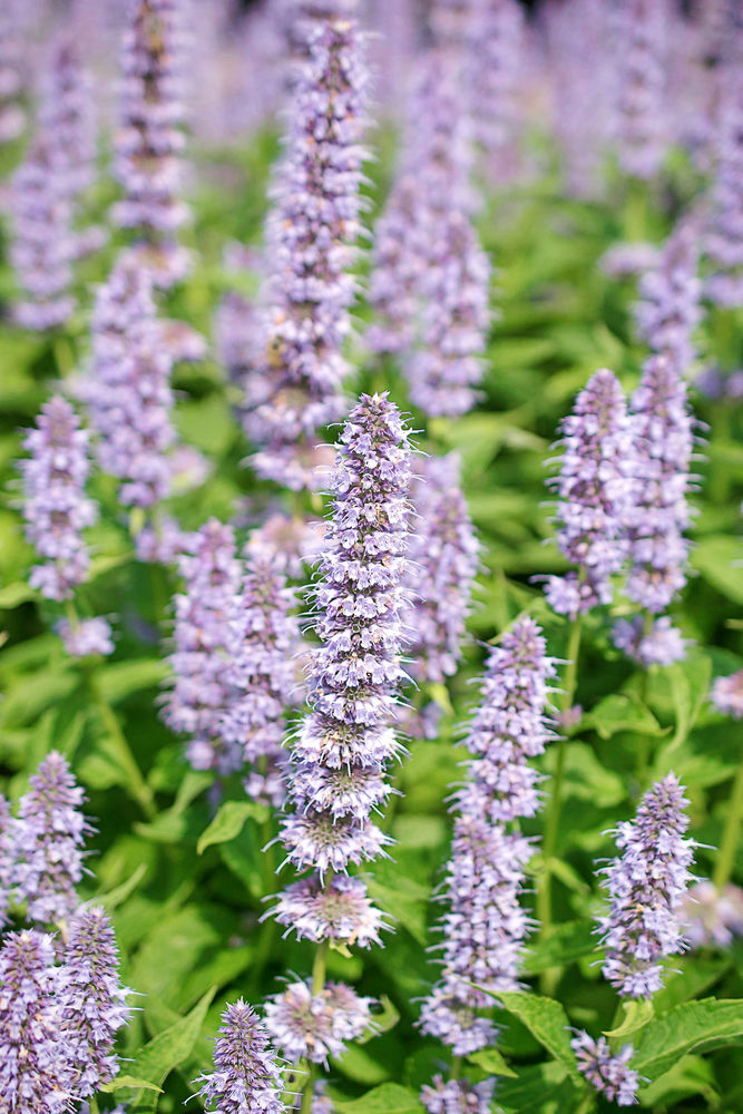 Summer hyssop or Korean mints are the current darlings of the garden, producing spires of tubular flowers in predominantly blue and lilac, but also increasingly in pastel shades of apricot, red, pink, and yellow. They range from being herbaceous perennials to those with a woody rootstock, producing a sheaf of fresh shoots each year.  In garden terms agastache, meaning 'many spikes', spans around 10 species with slightly different habits, some upright, others more tufted and slender-shooted. Like many members of the mint family, they've aromatic foliage, spanning peppermint through to aniseed. There are two main groups which accounts for the differences in habit and flower colour. All are very attractive to pollinators, especially bees and butterflies.  Although none are bone hardy, those from North America and Asia, such as A. foeniculum and A. rugosa are more robust and upright, with spires of flowers in shades of blue and white and should survive most winters. The smaller, shrubbier, more colourful types, such as A. aurantiaca and A. cana, come from Southern USA into Mexico and range from being tender to semi-hardy.  Agastache are easily grown in well-drained soil in a sunny, but not too dry position or in pots. Hardiness is improved by not letting them get waterlogged in winter. Tender species and varieties may survive mild winters, but can be protected as rooted cutting in the greenhouse or raised from seed or plug plants each year.