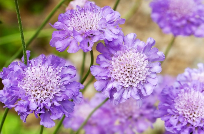Some garden flowers have a timeless aura and the scabious, or pincushion flowers, are a case in point. The disc-like heads, clustered with long-lasting flowers, ooze period charm as delightful as any old-fashioned rose, with which they make ideal partners along with other cottage and country garden plantings.   Scabious come from Europe, Africa and Asia and are a mix of annuals and perennials, with some, such as the Mediterranean  Scabiosa atropurpurea , being biennial or a short-lived perennial. The name scabious comes from the plant's use as a folk medicine to treat scabies, cause by burrowing mites.   The flowers of most varieties are shades of blue, lilac, pale yellow and creamy-white, but get maroon and darker tones from  S.   atropurpurea.  Like daisies, the flowers are made up of two different types of petal, with smaller inner and larger outer. The female stigmas often stick out of the individual flowers, giving rise to the name pinchushion flower. Producing copious amounts of nectar, their easily accessible blooms make them attractive to pollinators. The flowers are long-lasting and make excellent cut blooms in formal or informal arrangements. After the petals have fallen, the calyx of many species remain - creating a whiskery bobble - and these are also good for arrangements.   Scabiosa like well-drained, but not constantly dry soil, in full sun, thriving particularly well in chalky soils.