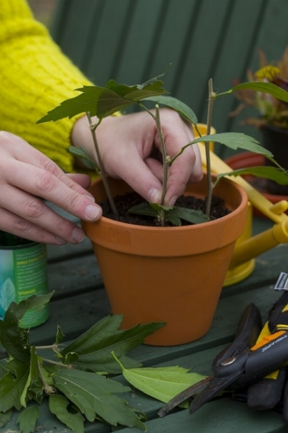 Take Hibiscus Cuttings Garden News