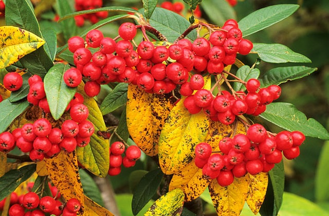 'Cornubia' a vigorous, semi-evergreen, large shrub or small tree