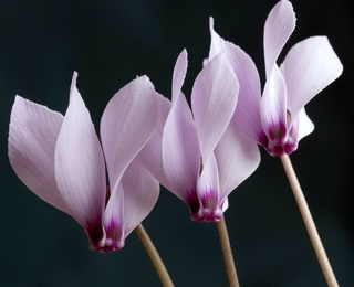 Cyclamen Miniature.jpg