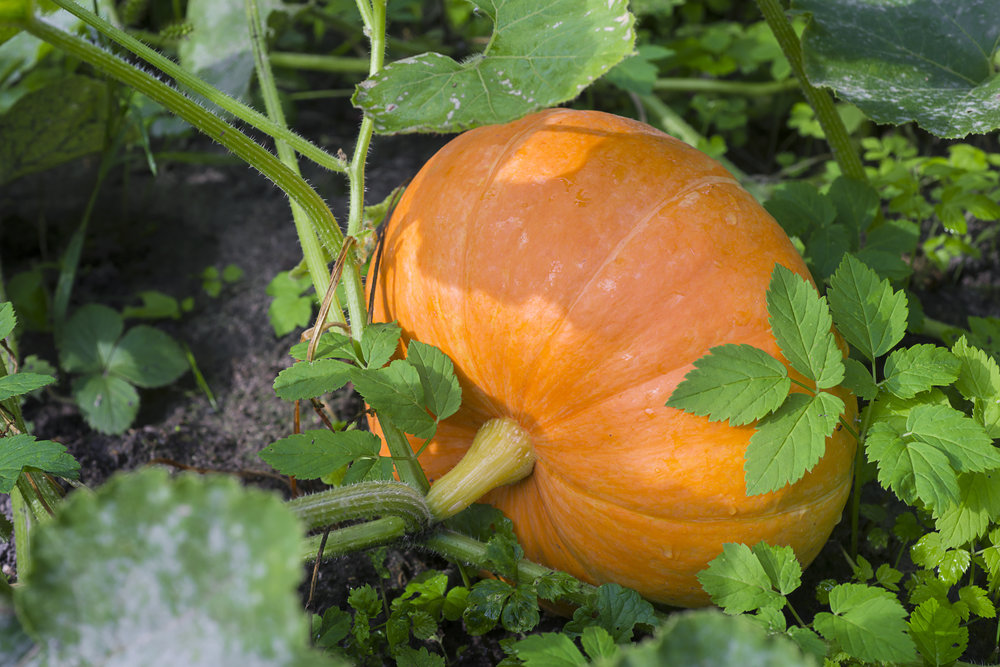 Pumpkin - Shutterstock.jpg