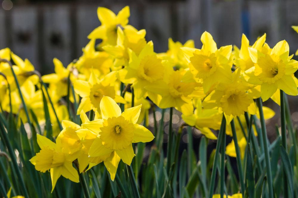 Daffodils - shutterstock_354993206.jpg