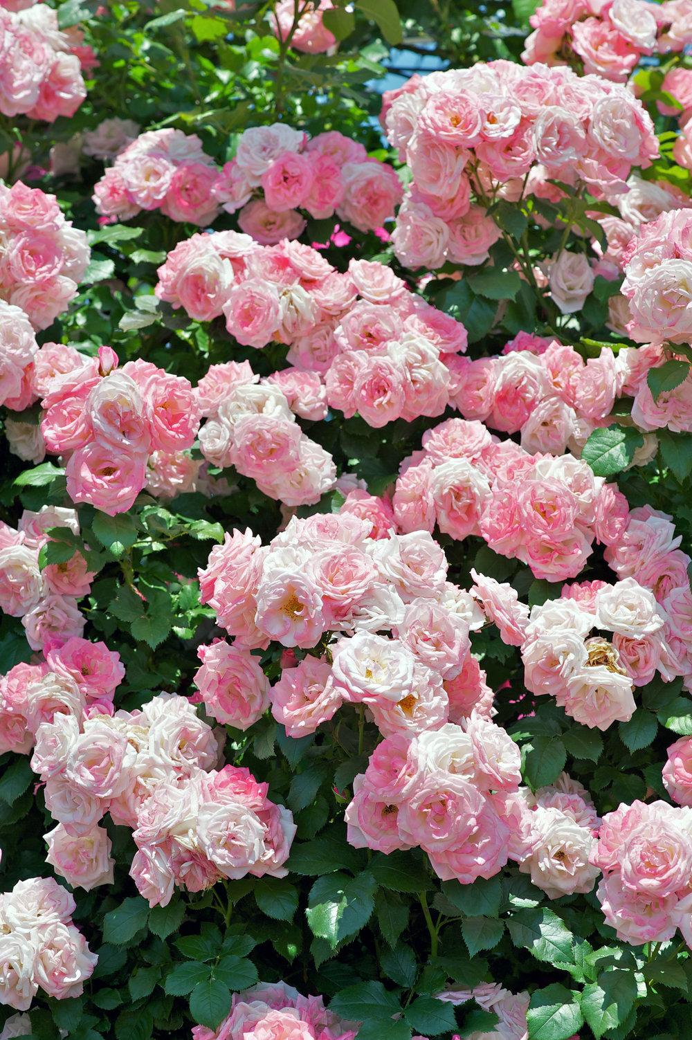 Climbing Roses - shutterstock_103838252.jpg