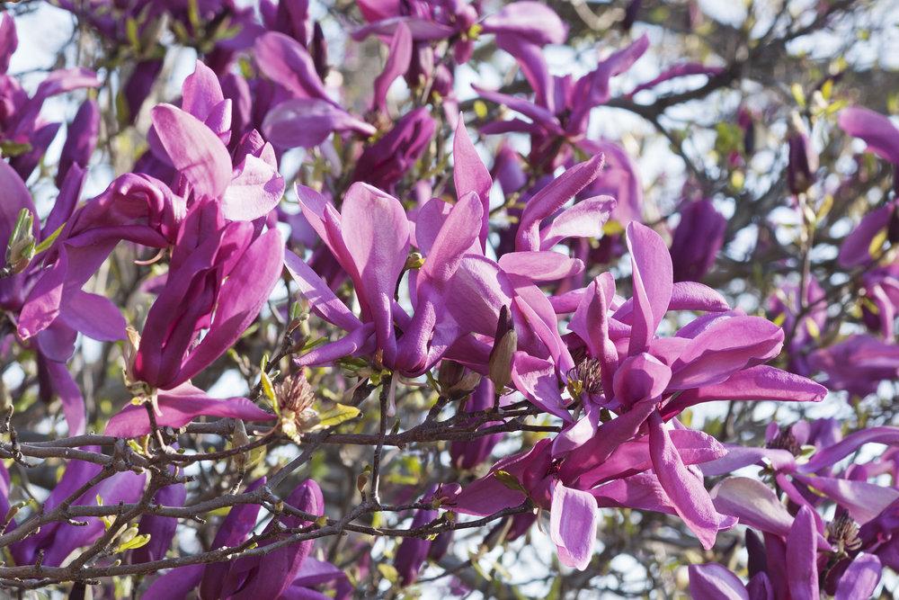 Magnolias - shutterstock_435602335.jpg