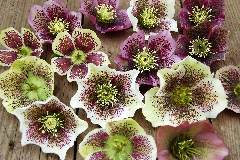 Hellebores from seedlings - step 4.jpg