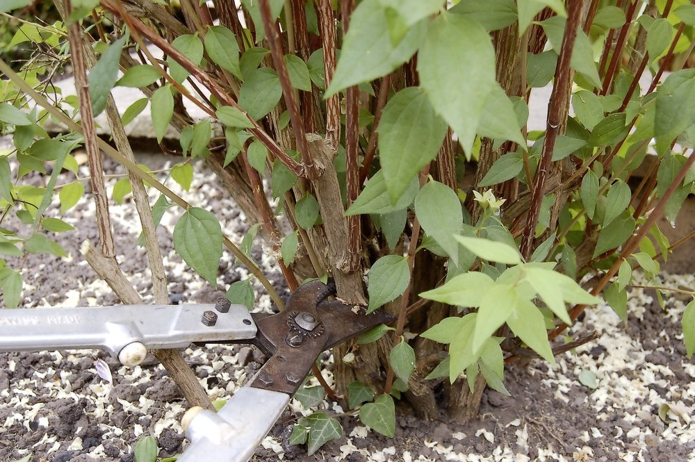 Summer shrub pruning - step 2.jpg