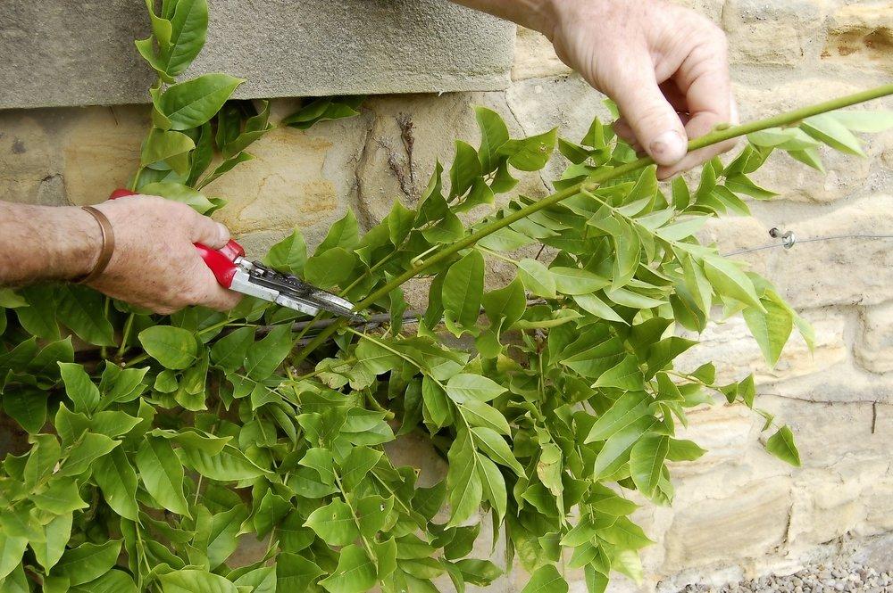 Wisteria pruning - step 2.jpg