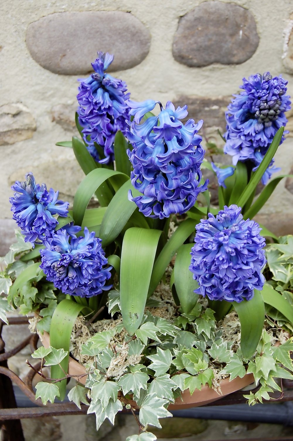 Pot hyacinths - main shot 2.jpg