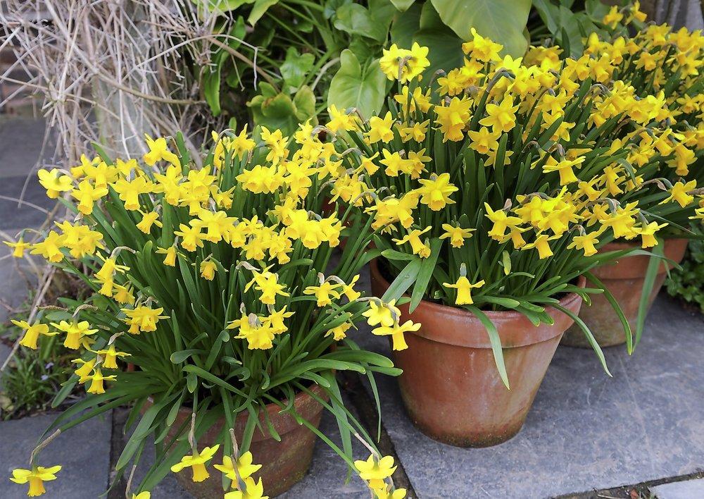 Narcissus 1.jpg