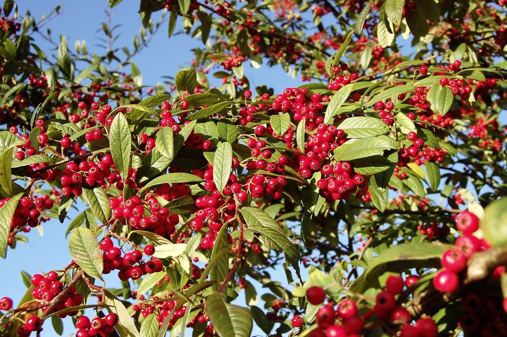 Choose plants for autumn colour - step 2 - Cotoneaster.jpg