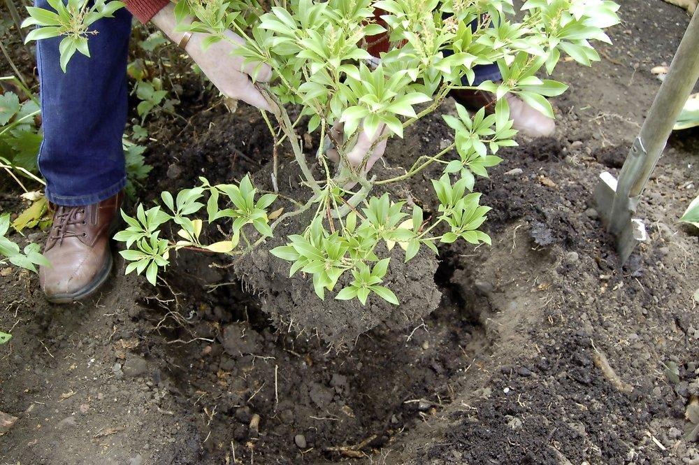 Transplant evergreens - step 3.jpg