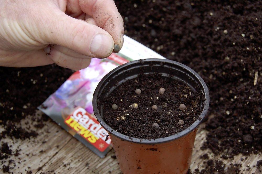 Sow sweet peas - step 3.jpg