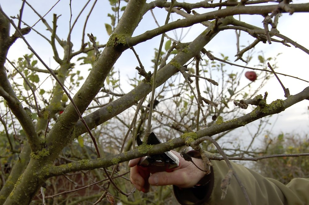 Apple pruning - spet 2.jpg