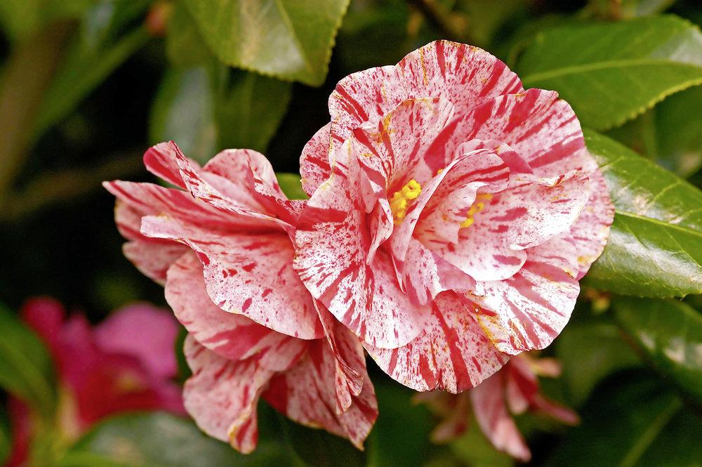 C. japonica 'Betty Foy Sanders'