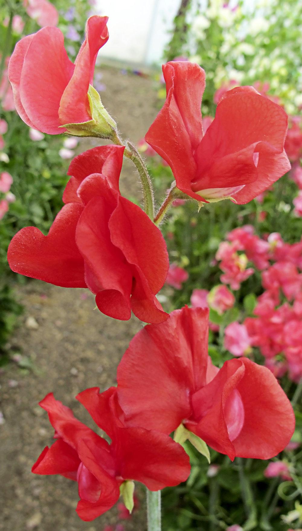 Solstice Crimson