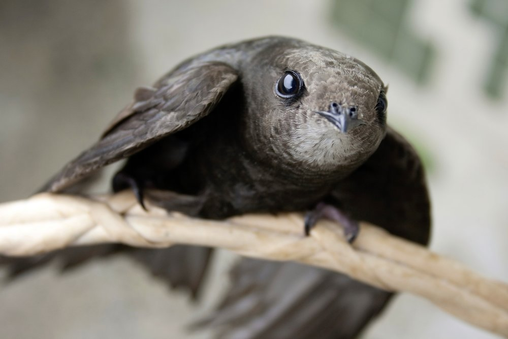 Help out swifts