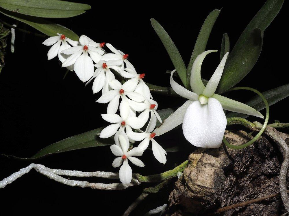Aerangis luteo-alba and Angraecum elephantinum