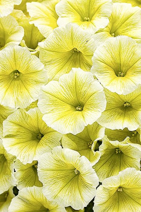 Petunia 'Limoncello'