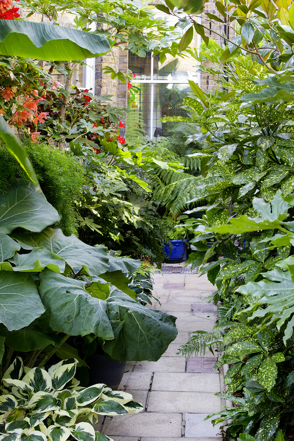 Hostas, spotted laurel (Aucuba japonica), Petasites japonica gigantea and Fatsia japonica enjoy the shady side passage