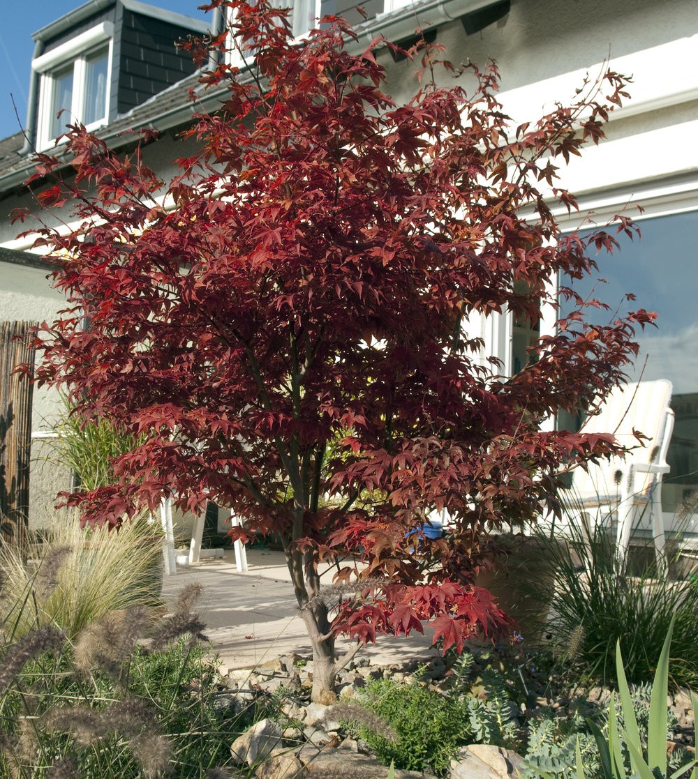 Three Top Tips For Japanese Acer Care Garden Answers
