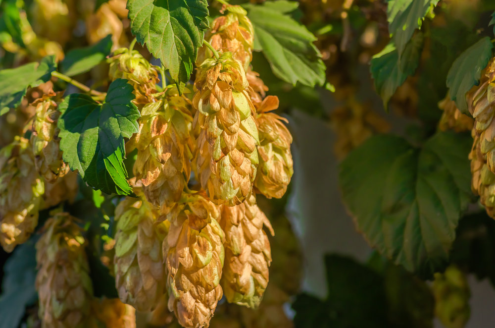 Golden hop (humulus)