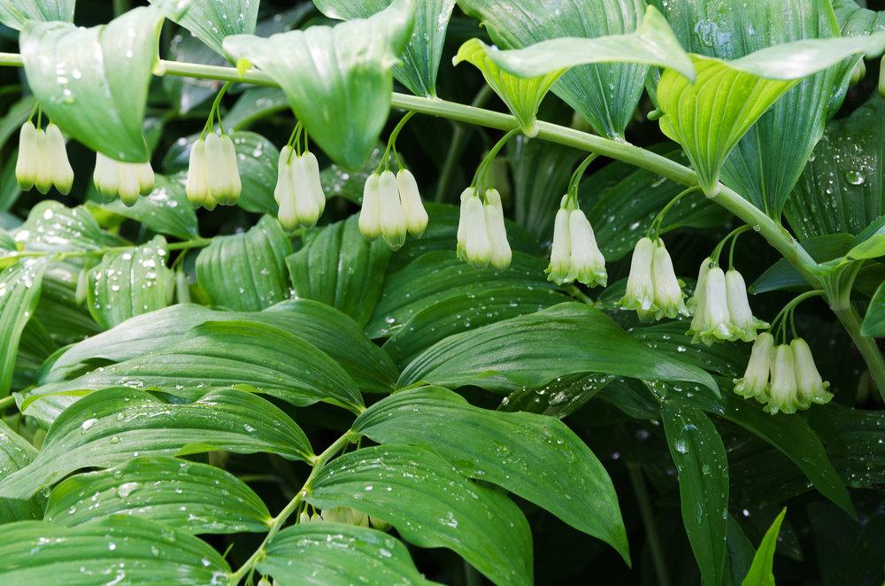 Polygonatum hybridum