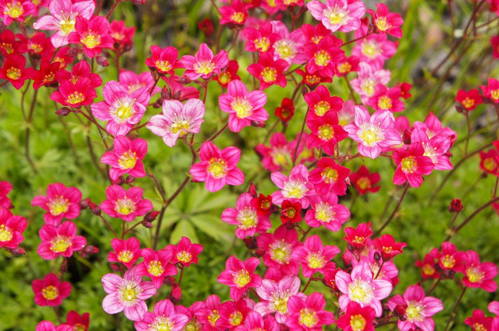 Pink saxifrage