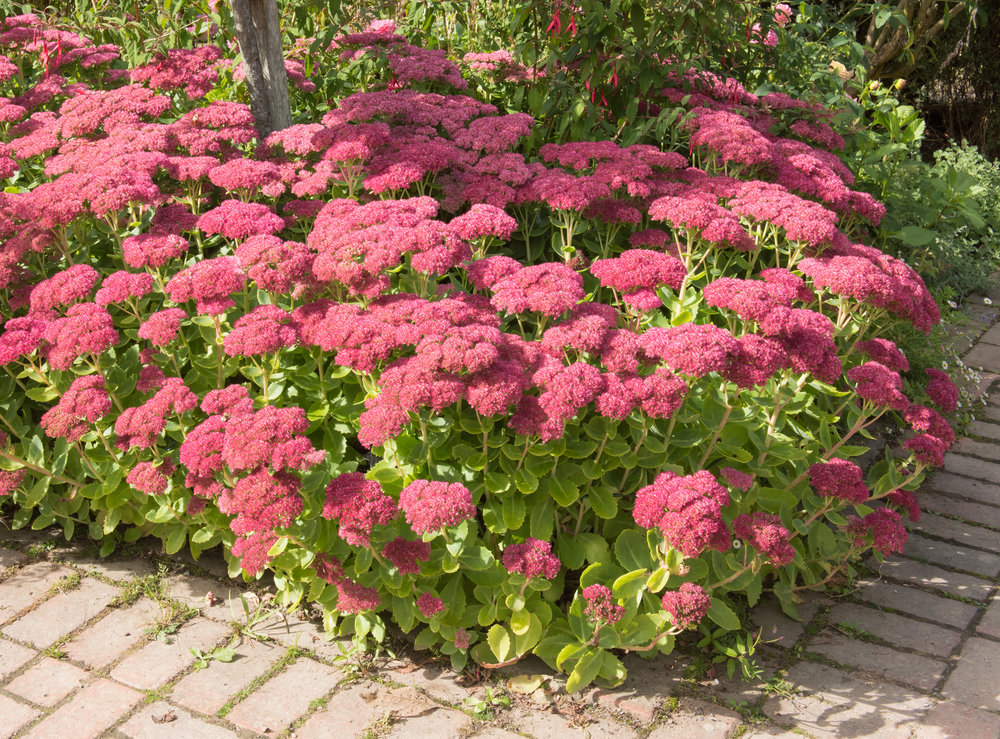 the answer is hylotelephium matrona syn sedum - Garden Answer