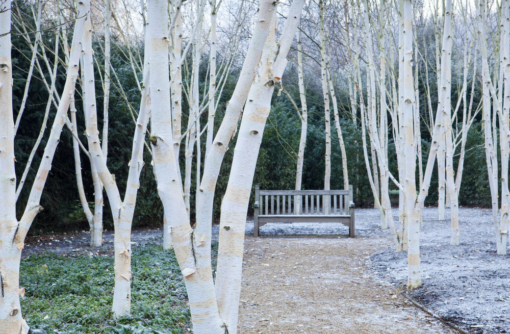 The birch grove at Anglesey Abbey