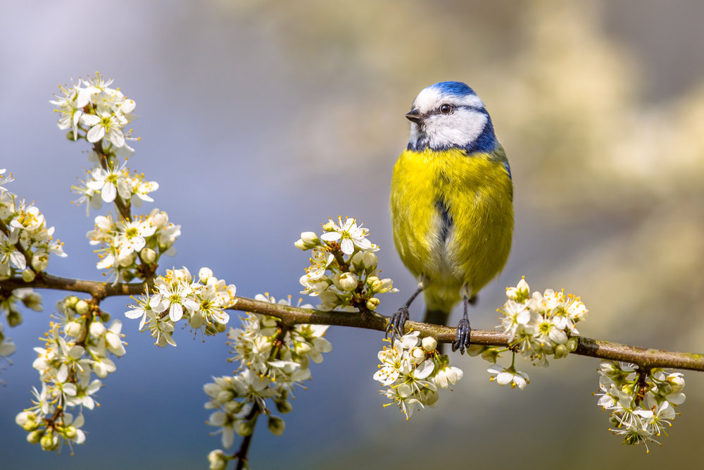 A bluetit perching on hawthorn ( Crataegus monogyna )