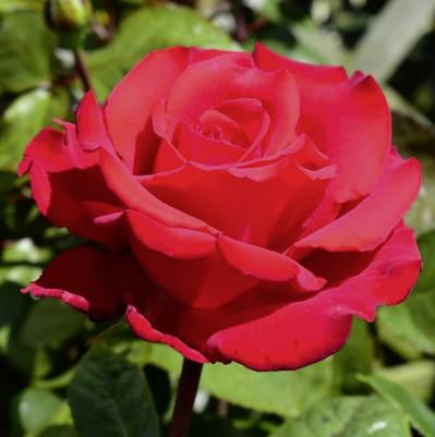 Rosa 'My Valentine'