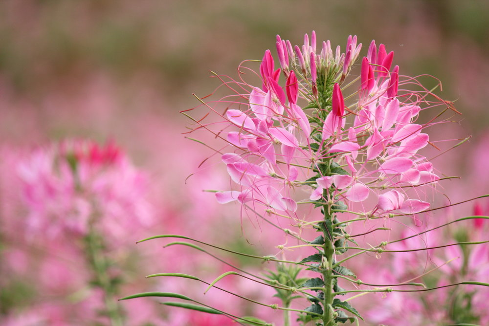 Cleome hasselriana