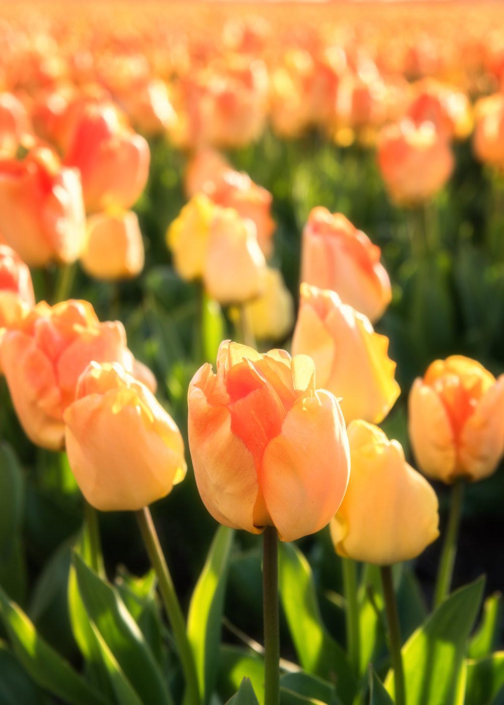Tulip 'Daydream'