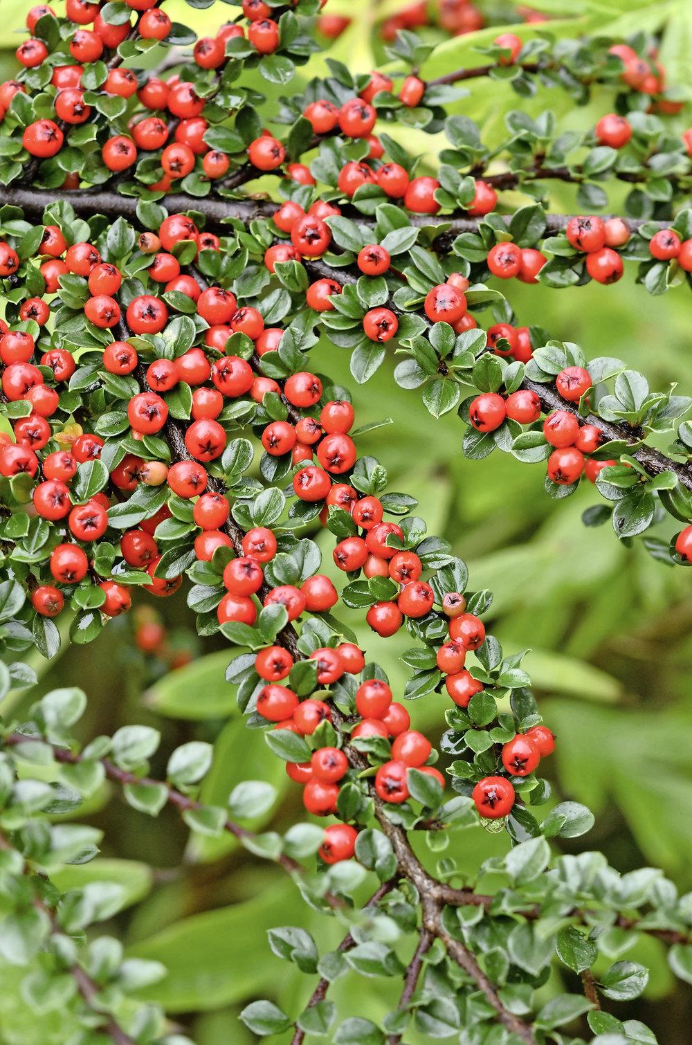 Berry 5